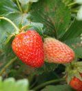 Frutos de fresa