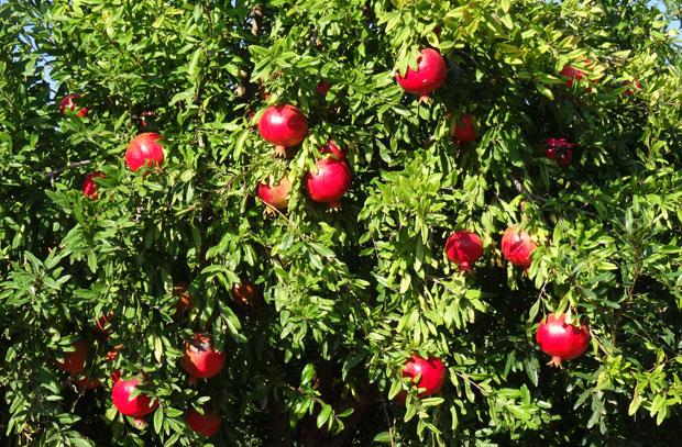 Frutos de granado en el árbol