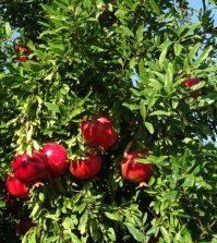 Frutos de granado maduros