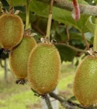 Frutos de kiwi en el árbol