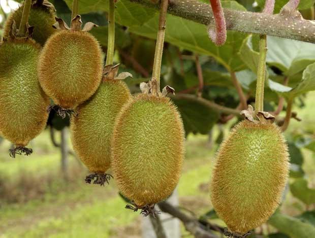 Cultivo del kiwi