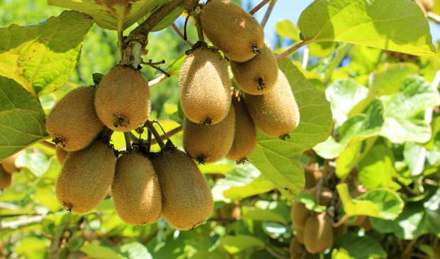 Frutos de kiwi maduros