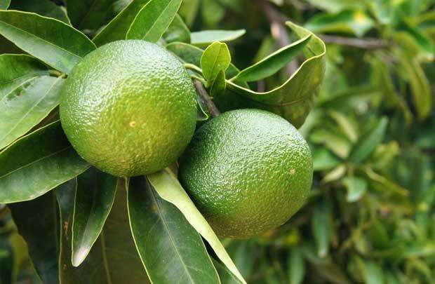 Frutos de naranjas