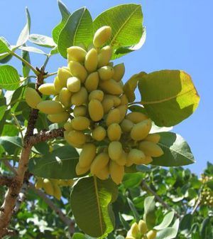 Frutos del pisctacho