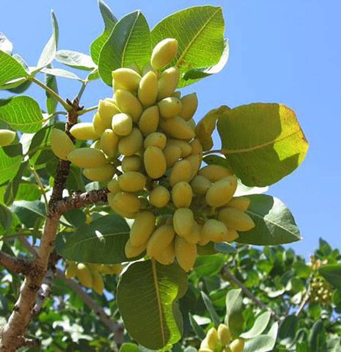 El cultivo del pistachero o pistacho