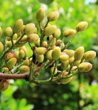 Variedades de pistacho