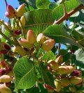 Plagas y enfermedades del pistachero