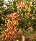 Necesidades para el cultivo del pistacho