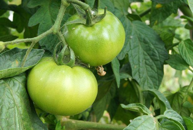 Frutos de tomate verdes