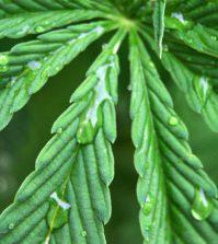 Hojas de marihuana con agua