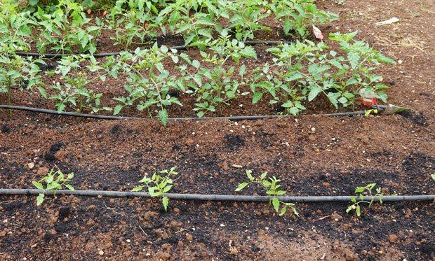 Plantación de tomates en huerto urbano