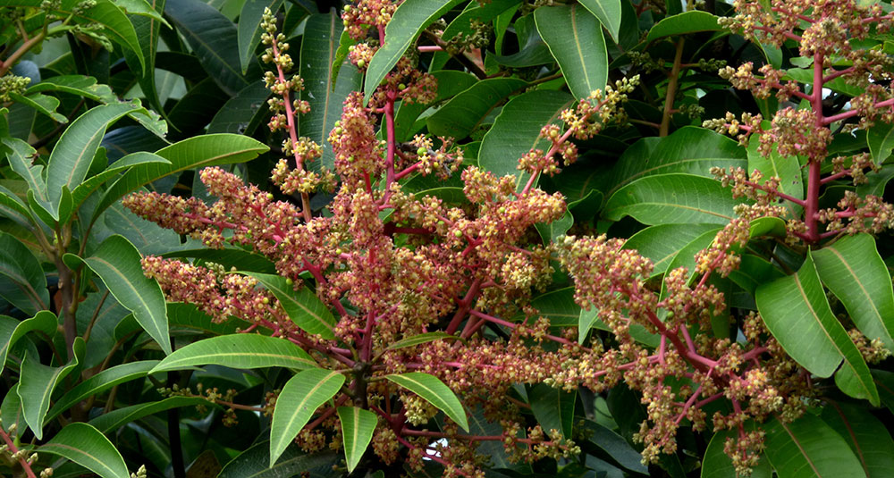 Inflorescencia del mango, Mangifera indica