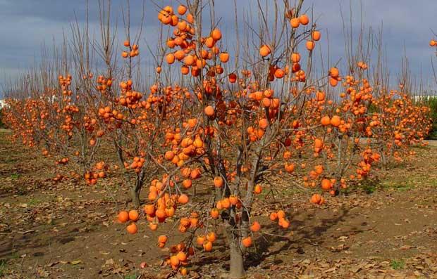 kakis con frutos maduros