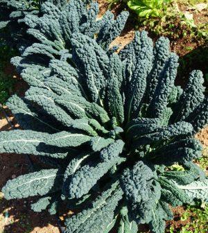 Kale negro toscano o dragón