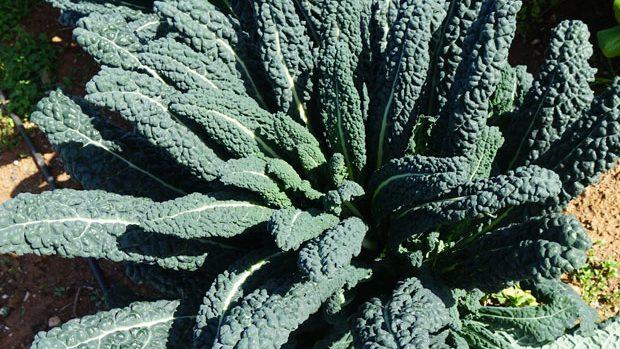 Kale negro toscano