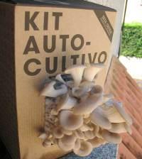 Kit de cultivo de la Seta ostra