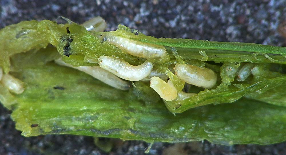 Larvas de phorbia antiqua