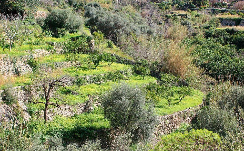 Mallorca olivar