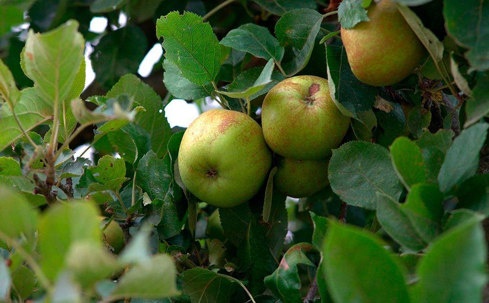 Manzana del Bierzo DOP