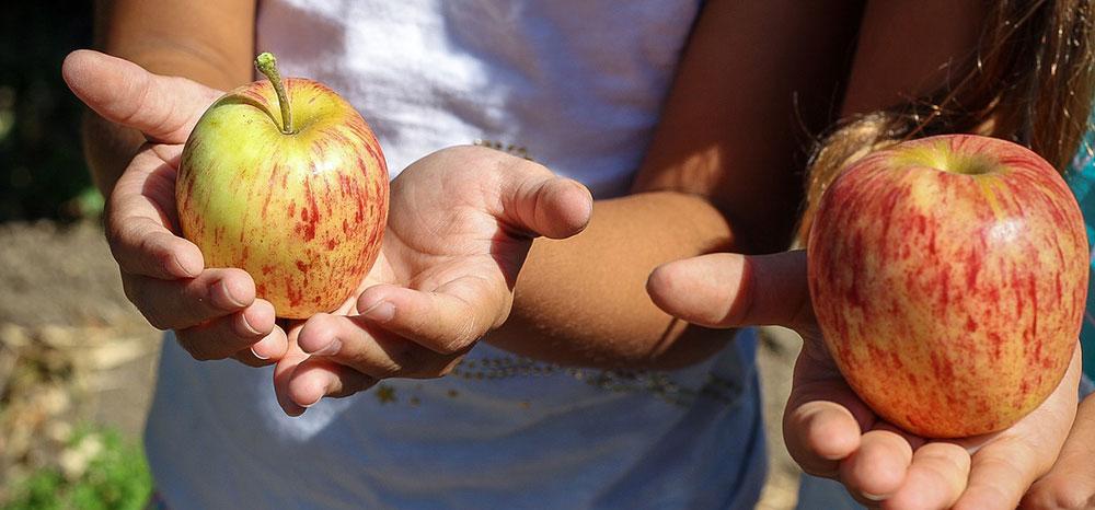 Manzanas maduras