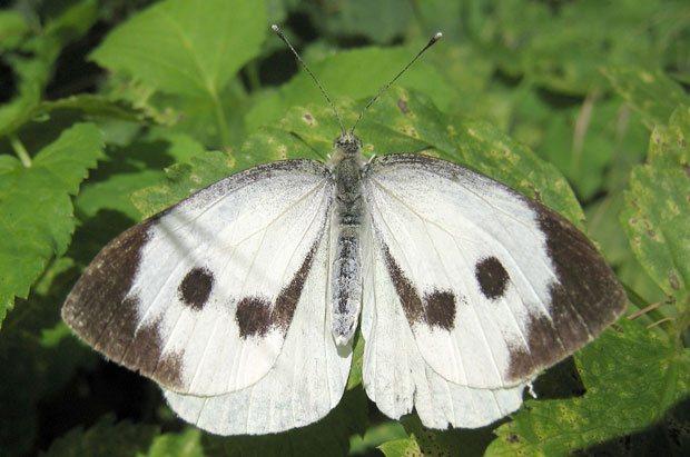 Mariposa de Pieris brassicae