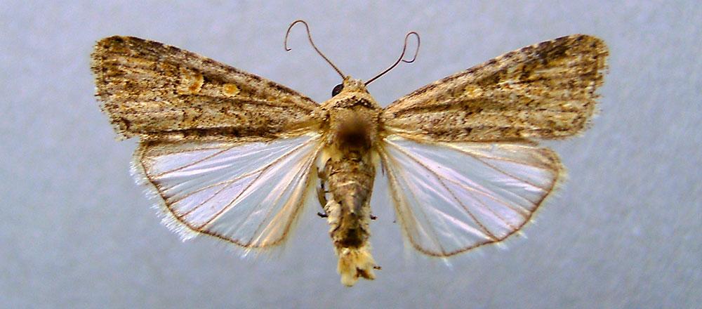 Mariposa de Spodoptera exigua