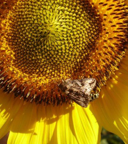 Mariposa sobre girasol