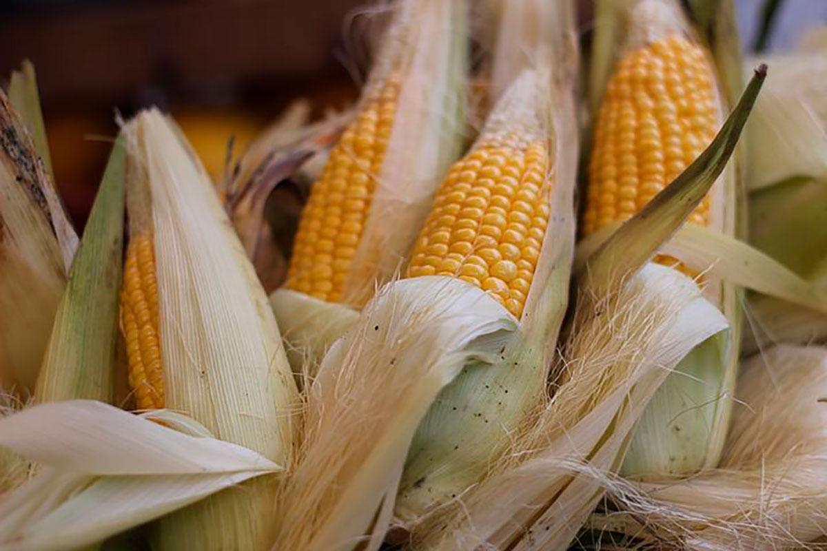 Mazorca maíz