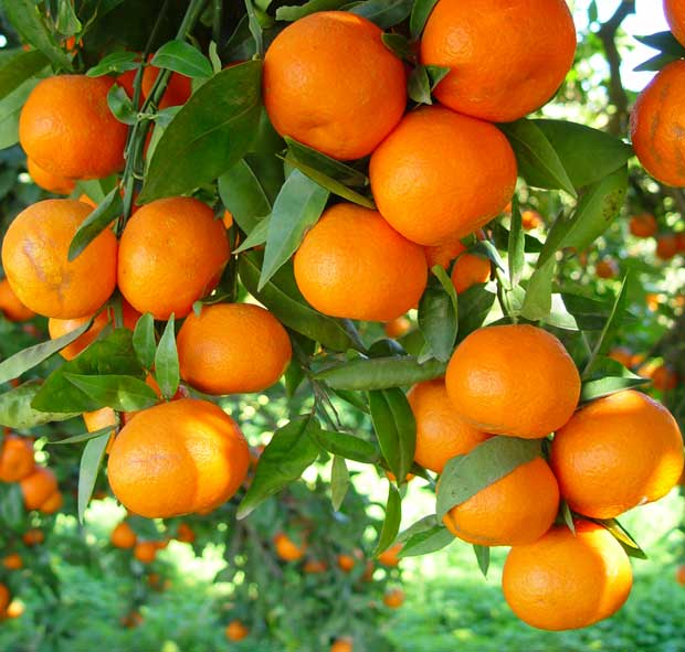 Naranjas maduras