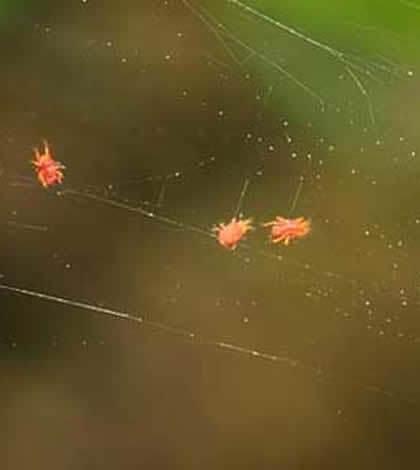 Cómo controlar la araña roja