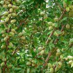 Plagas y enfermedades del almendro