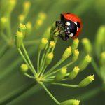 Plagas y enfermedades del eneldo
