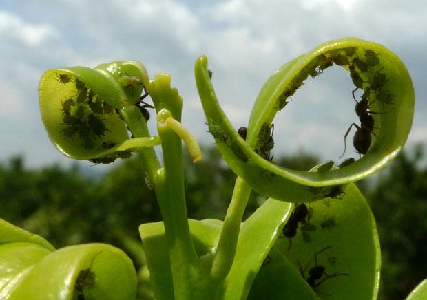 Plagas y enfermedades del kumquat