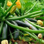 Informe técnico para el cultivo del calabacín