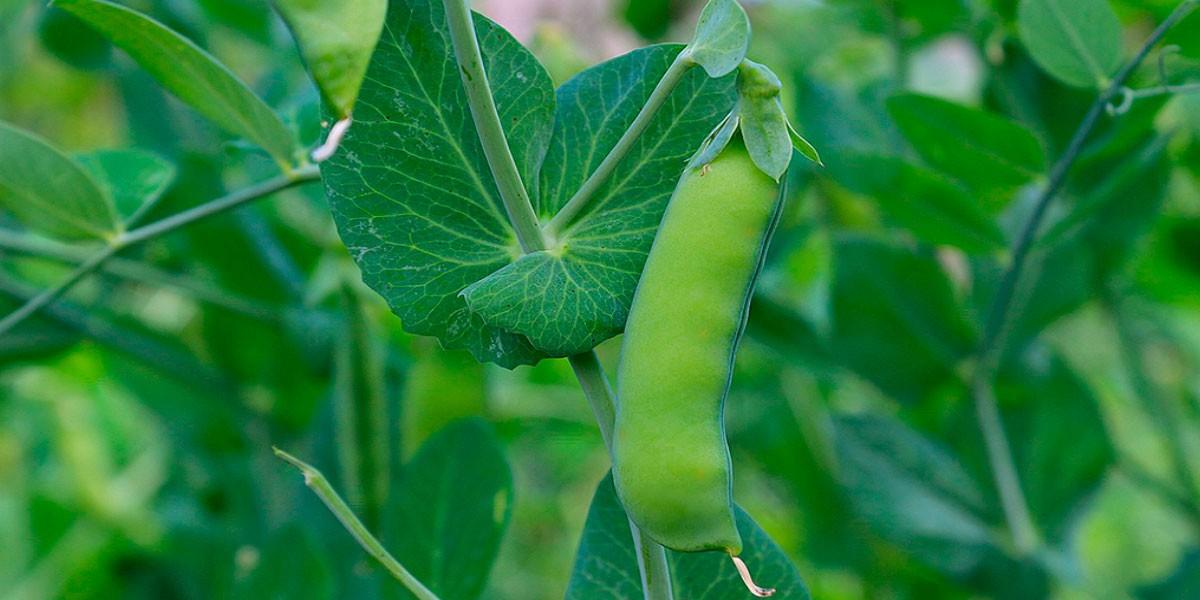 Informe técnico para el cultivo del guisante