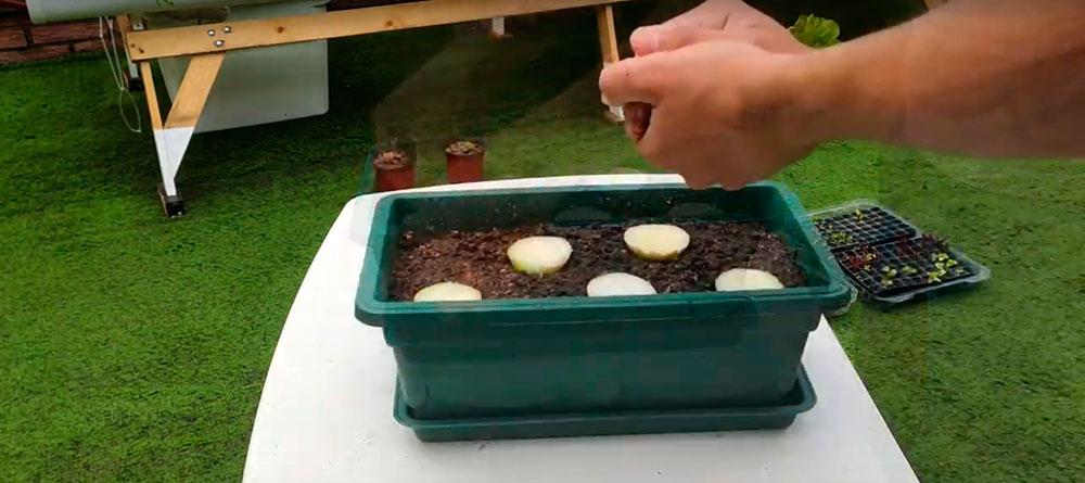 Plantar los recortes de cebolla en la jardinera