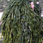 Qué son los abonos de extractos de algas