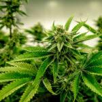 Diferencias entre las distintas clases de marihuanas