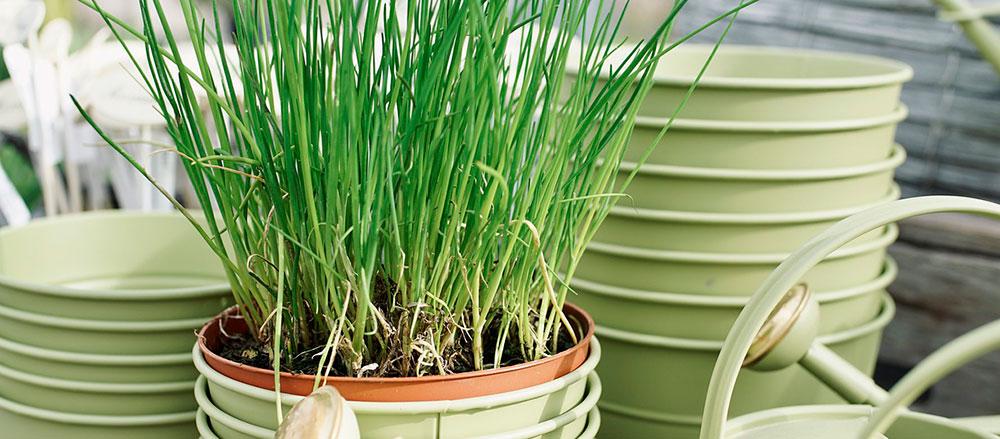 Plantas de cebollino