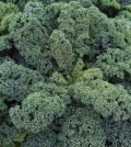 Plantas de kale
