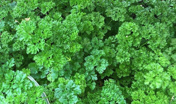 Plantas de perejil