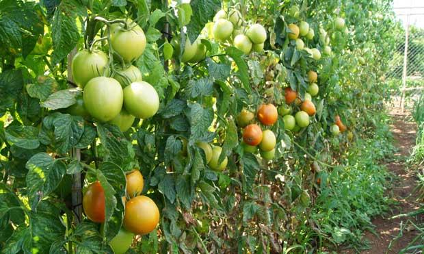 Plantas de tomate
