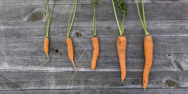 Plantas de zanahoria