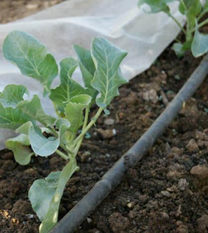 Cómo sembrar coles con éxito