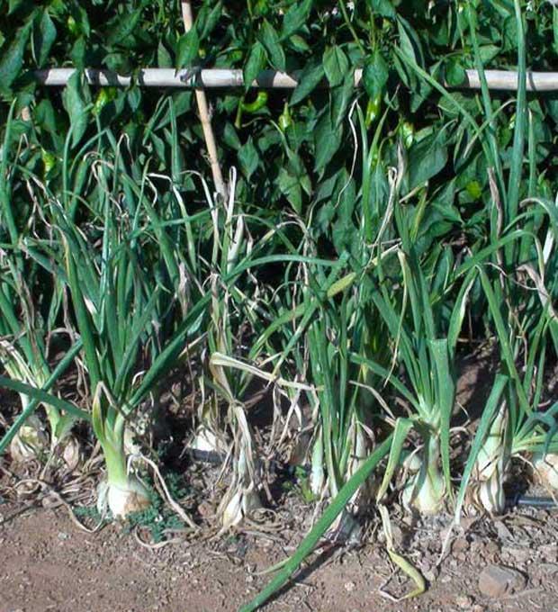 Variedades y fechas de plantación de cebollas
