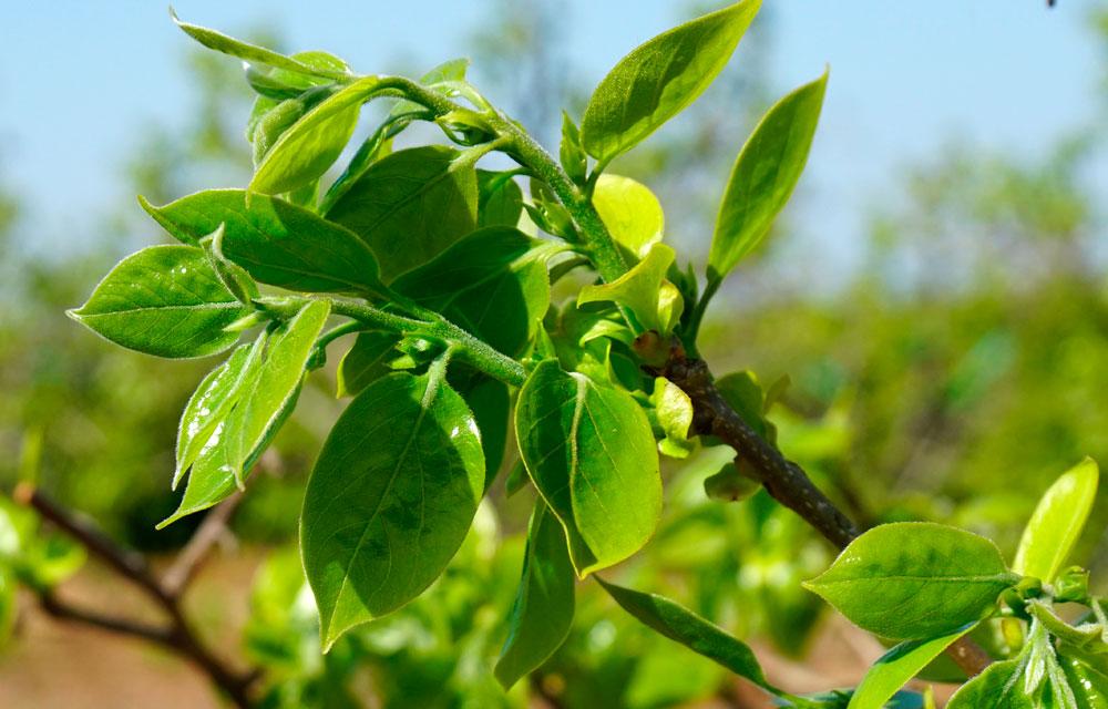 La poda en verde del Caqui