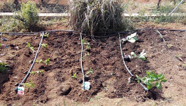 Distribuir las plántulas por el huerto