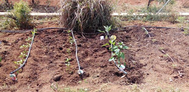 Plantación de las plántulas en el huerto