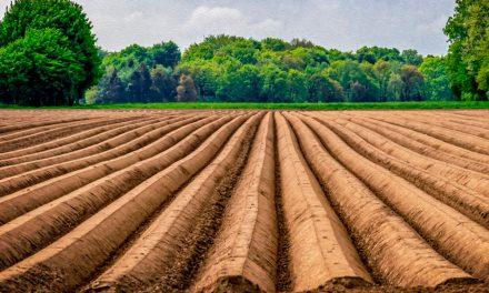Informe técnico para el cultivo del espárrago