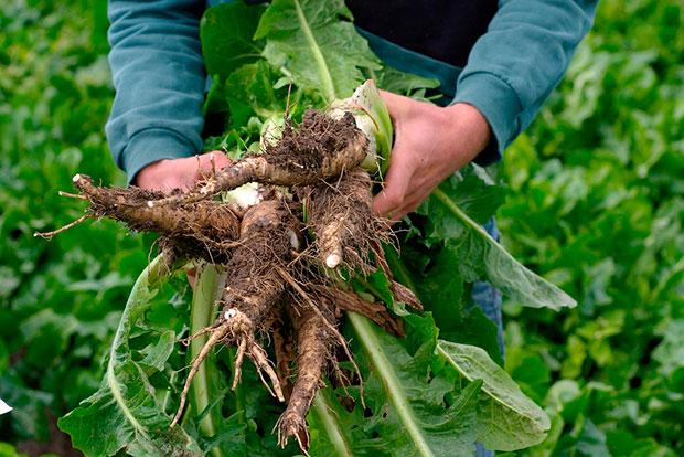Informe técnico para el cultivo de Achicoria de Bruselas; Endibia